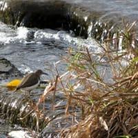 賀茂川の水鳥たち