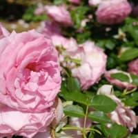 【大洲防災公園】市川の大洲防災公園で春薔薇をX-E4の動画で  Spring roses at Osu Bosai Park, Ichikawa【FUJIFILM X-E4】