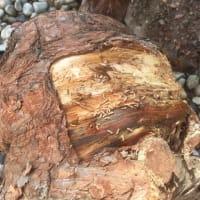 五葉の松の根