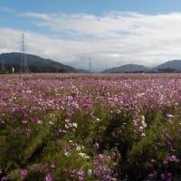近江八幡市野田町の「コスモス」今年のラストチャンス!