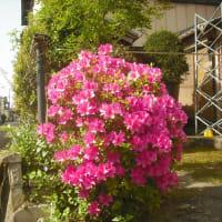 名も知らぬ 花が満開 自粛 家(いえ)