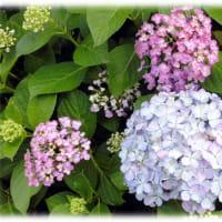 梅雨のころに咲く花(^^♪花の色が白から青紫色、紅紫色と変わるので、俗に「七変化」とも言われる「アジサイ(紫陽花)」