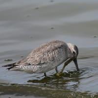 頭を掻く野鳥たち コオバシギ