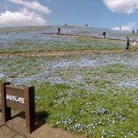 国営ひたち海浜公園2019年の春・・ネモフィラ丘咲き始め