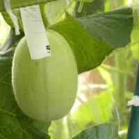 メロン栽培2019 その2(受粉、肥大期)