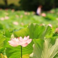 蓮を観に~~ 万博日本庭園