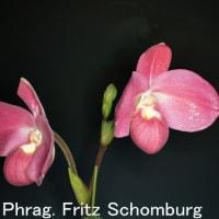 蘭:フラグミペディウム・フリッツ・ションバーグ(Phrag. Fritz Schomburg)