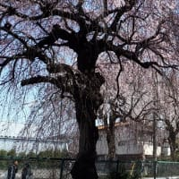 リバーサイドバーノスタルジア 砂川堀のしだれ桜