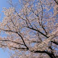 今年の桜を・・・・