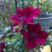 クレマチス、アイリス、トサミズキの花後