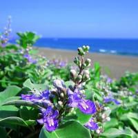 ハマユウの咲く浜 ~ 茅ヶ崎の海岸から ~