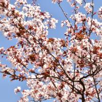 2020年 春 ④  ベニバスモモ『紅葉李』 と アンズの花『杏』