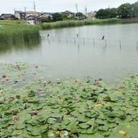 蓮の花ある池