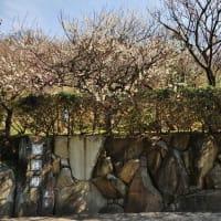 2020年・梅の花風景 光市 冠梅園