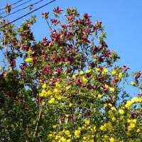 紅花の西洋シャクナゲと白花の日本シャクナゲ、ジャーマンアイリスも開花しました。