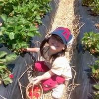 イチゴ狩り 2