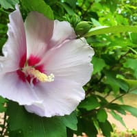 お花で一休み(113) 北の街のハイビスカス