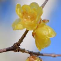 蝋梅(ロウバイ)は 香りほのか  冬の花