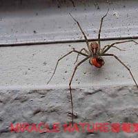 外壁のヒゲナガハシリグモ