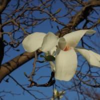 マッキーの『四季を楽しむ』:桜の季節到来