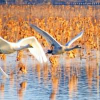 オオハクチョウ 16羽 手賀沼に飛来