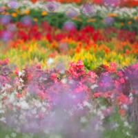 秋の花々 御本丸公園のコスモス ~ やくらいガーデンのお花畑