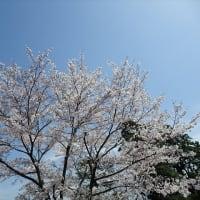 「桜」/国立劇場2020
