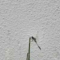 トンボ(Dragonfly)
