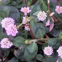 ポリゴナム・セレブピンクの花は