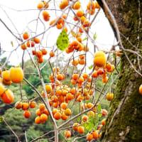 古木の柿に木に実る
