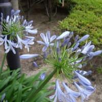 「おはようの花」 アガパンサス06-21