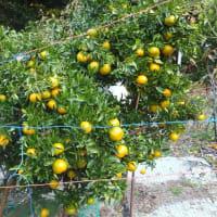 柑橘類が気候に合ってる。