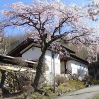 今年も桜が咲きました。(1)