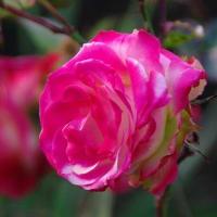 昨年の記事より真紅のバラに癒されます
