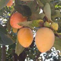 柿も化粧品の原料です