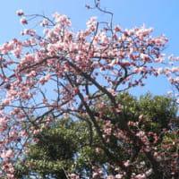 上野公園のカンヒサクラ