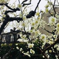 咲き乱れるボケの花🌺