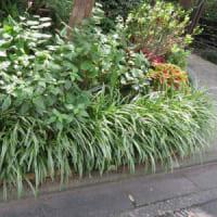 9/15 エリア2:ジュズサンゴの花と実