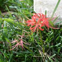 まち歩き木津川1379  道端の景色と 花