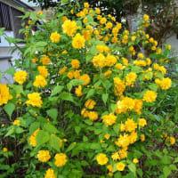 黄色が鮮やな八重が満開