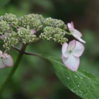 迎え梅雨—花菖蒲と山紫陽花