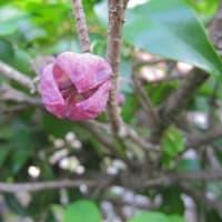 アケビ(木通)の雌花と雄花