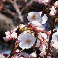 何が出るやら玉手箱      開花宣言された  駿河の国の桜開花 (2)