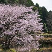 2020年3/22 クマノザクラ (御浜町尾呂志)