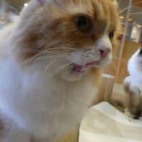 鼻ぺちゃ猫ちゃんを撮影していたら出会った「ミヌエット」!この猫種を知っていましたか?