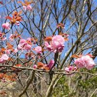 4月10日晴天!絶好の観光日和です!箱根 自然薯の森 山薬
