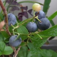 8月のブルーベリー日記(8/5~8/16~8/18)完熟5個収穫、あと1つ待ち