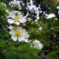 ノイバラ - 神代植物公園 植物多様性センター