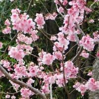 掛川桜〔Ⅱ〕