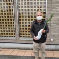 高田みかんの苗、配布しています。